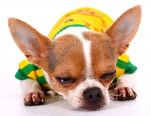 Small Cute Pet Chihuahua Having A Sleep